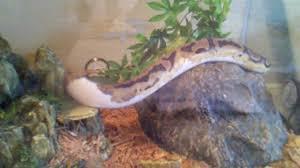 ball python piebald lower white enclosure with cypress mulch