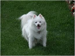 Toy American Eskimo Dog Shedding by American Eskimo Dog Breeders Facts Pictures Puppies Rescue