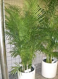 golden palm in pots areca palm care sosplantcare