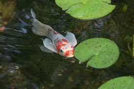 Aquascape Patio Pond Australia by Pretty And Small Backyard Fish Pond Ideas At Decor Landscape