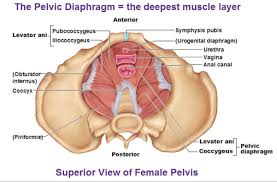 women deserve to know the stretched pelvic floor muscles pfm