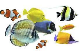 poisson eau douce aquarium tropical les principales espèces de poissons d aquarium doctissimo