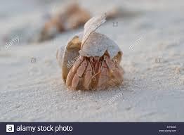Halloween Hermit Crab Reef Safe by 100 Halloween Hermit Crab Amazon Com Folkmanis Hermit Crab