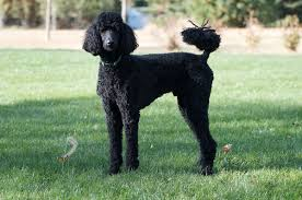 Wirehaired Pointing Griffon Non Shedding by Poodle Wikipedia