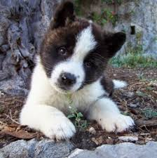 everything about your akita luv my dogs
