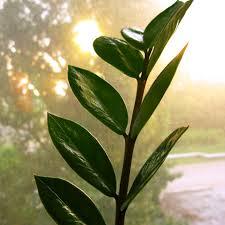 zimmerpflanzen zamioculcas braucht wenig licht und pflege