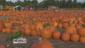 Pumpkin Picking In Ct by Connecticut Pumpkin Farm Succeeding Despite Drought Youtube