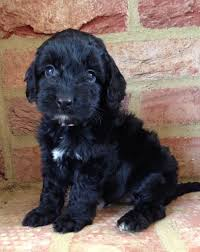 Do Cockapoo Mixes Shed by Cockapoo Puppies Rescue Pictures Information Temperament