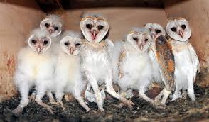 Barn Owl Family | Barn Owls On Oak Beam Uk Bird Small Mammal Taxidermist Mike Gadd Owl Family Clipart Night Owl Pencil And In Color Barn Baby By Disneyqueen1 Deviantart All Things Things You Always Wanted To Know About Keeping As Pets Portrait Of A During Falconry Traing Dubai Uae The Centre Staffvolunteers Gallery My Maltese Falcon A Day Falconry Speck The Globe 130109 130110 Wildlife Center Virginia Lydias Video Youtube