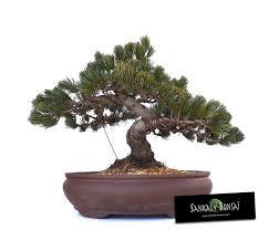 pot bonsai grande taille 222 best bonsai images on html acer palmatum and bonsai