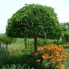 Dwarf Weeping Mulberry Tree Deciduous All Things Plants