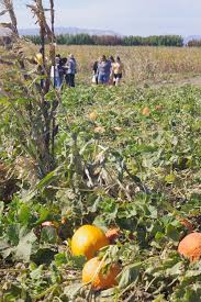 Pumpkin Patch Near Dixon Ca by Cool Patch Pumpkin Corn Maze 2017