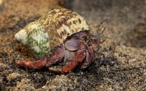 Do Hermit Crabs Shed Their Body by Land Hermit Crab Smithsonian U0027s National Zoo