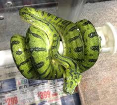 Ball Python Bedding by Python Care The Snake Boss Blog