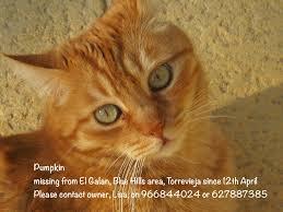 orange cat names pumpkin a cat went missing 12th april from el galan blue