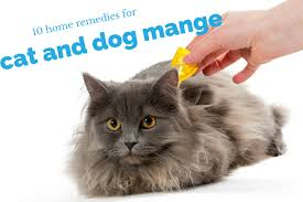 my cat has dandruff home remedies for mange cats and dogs guide