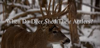 When Do Whitetails Shed Their Antlers by When Do Deer Shed Their Antlers Huntingtutorials Com