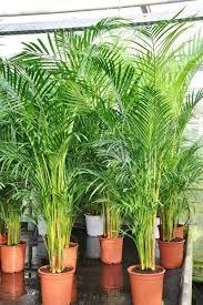 wunderwaffen für bessere raumluft der palmenmann