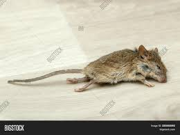 100 Mouse Apartment Closeup Dead On Image Photo Free Trial Bigstock