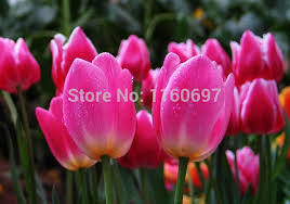 free shipping fuschia 5bulb bag flower bulbs for gaden tulip bulbs