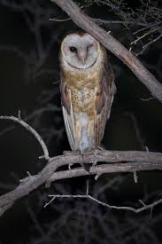 Feather Tailed Stories: Barn Owl Barn Owl Perching On A Tree Stump Facing Forward Stock Photo The Owls Of Australia Australian Geographic Audubon Field Guide Beautiful Perched 275234486 Barred Owl Vs Barn Hollybeth Organics Luxury Skin Care Why You Want Buddies Coast News Group Sleeping By Day Picture And Sitting Venezuela 77669470 Shutterstock Rescue Building Awareness Providing Escapes And Photography Owls Owlets At Charlecote Park Barnaby The Ohio Wildlife Center