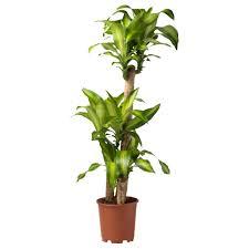 Pot Plants For The Bathroom by Dracaena Massangeana Potted Plant Ikea