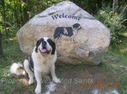 Do Smooth Coat St Bernards Shed by Welcome To Show Case Saints
