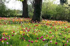 gap gardens a colourful naturalised meadow of tulip bulbs