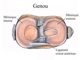 anatomie du genou ligaments ménisques et tendons