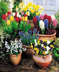 overwintering hardy bulbs in containers outdoors not as easy as