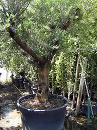 acheter un olivier centenaire ou de grande taille mon olivier de
