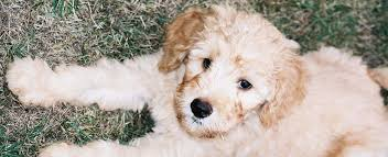 Small Non Shedding Dogs Australia by Labradoodle Breeders Puppies For Sale Tora U0027s Australian Labradoodles