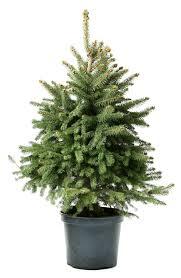Nordmann Fir Christmas Trees Wholesale by Fir Living Christmas Tree 100 120cm