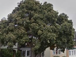 Christmas Tree Species Nz by San Francisco U0027s Best Landmark Trees