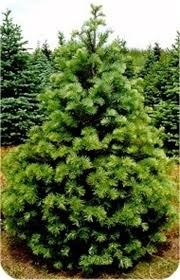 Canaan Fir Good Christmas Tree by Christmas Trees Natures Best Value Evergreens 5011 Baltimore