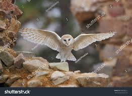 Barn Owl Tyto Alba Nice Wings Stock Photo 398936221 - Shutterstock Standing Twelve Weekold Barn Owl Side View Stock Photo Getty Images Boxes South Downs National Park Authority Old Man Of Minsmere Aka John Richardson Gorgeous Birds In Folklore Owls And Ravens Randomdescent Orbit The 5 Weekold Baby Who Has Been Hand Ared By Owl Wikipedia Coda Falconry On Twitter Our 7 Week Old Barn Was Bred At Dont Go Deaf New Zealand Geographic Australian Masked Rescuing Owls Tropic Wonder Audubon Art Print Vintage Nature Bird Eyfs Blog Archive Wise