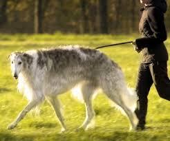 Irish Wolfhound Non Shedding by Borzoi What U0027s Good About U0027em What U0027s Bad About U0027em