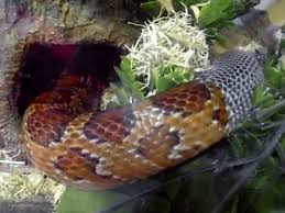 Corn Snake Shedding Signs by Corn Snake Shedding Its Skin Gif On Imgur