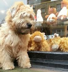 Do Wheaten Terriers Shed by Coat Types And Grooming U2013 Eblanahalls