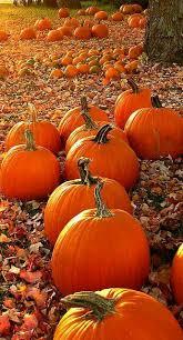Pumpkin Patch Parker County Texas by Calabazas Pumpkins Otoño Autumn Fall Naturaleza