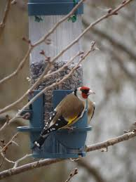 Winter Bird Feeding Tips For Happy And Healthy Backyard Birds Some Ways To Keep Our Backyard Birds Healthy Birds In The These Upcycled Diy Bird Feeders Are Perfect Addition Your Two American Goldfinches Perch On A Bird Feeder Eating Top 10 Backyard Feeding Mistakes Feeder Young Blue Jay First Time Youtube With Stock Photo Image 15090788 Birdfeeding 101 Lover 6 Tips For Heritage Farm Gardenlong Food Haing From A Tree Gallery13 At Chickadee Gardens Visitors North Andover Ma