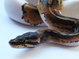 Corn Snake Shedding Too Often by Pacific Pythons Ball Python Info