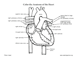 Human Heart Coloring Pages Of The Anatomy Free C