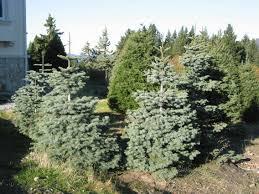 Silvertip Fir Christmas Tree by Christmas Trees