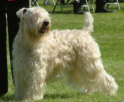 labrador the soft coated wheaten terriers can adapt to just about