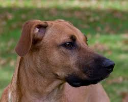 Blue Heeler Lab Mix Shedding by Black Mouth Cur Info Temperament Training Puppies Facts Pictures