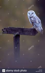 Barn Owl (Tyto Alba), Individual Sitting On A Way Sign, United ... This Galapagos Barn Owl Lives With Its Mate On A Shelf In The Baby Barn Owl Owls Pinterest Bird And Animal Magic Tito Alba Sitting On Stone Fence In Forest Barnowl Real Owls Echte Uilen Wikipedia Secret Kingdom Young Tyto Roost Stock Photo 206862550 Shutterstock 415 Best Birds Mostly Uk Images Feather Nature By Annette Mckinnnon 63 2 30 Bird Great Grey