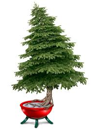 Potted Christmas Trees For Sale by Keep Your Christmas Tree Alive Longer With The Right Care Nola Com