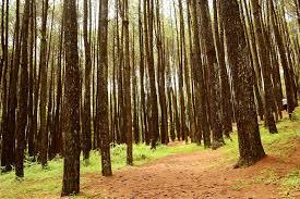 Hutan Pinus Mangunan Spot Foto Selfie Sekaligus Tempat Prewedding