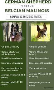 difference between german shepherd and belgian malinois